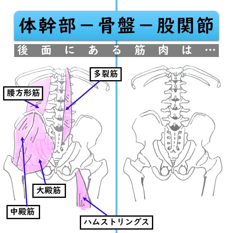 骨盤後面の筋肉