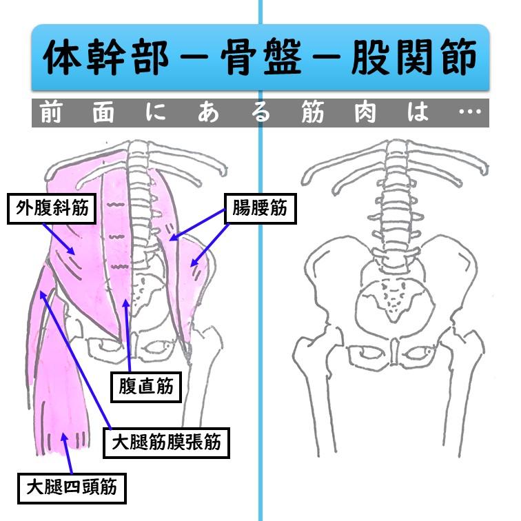 骨盤前面の筋肉
