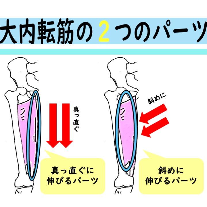 大内転筋の構造