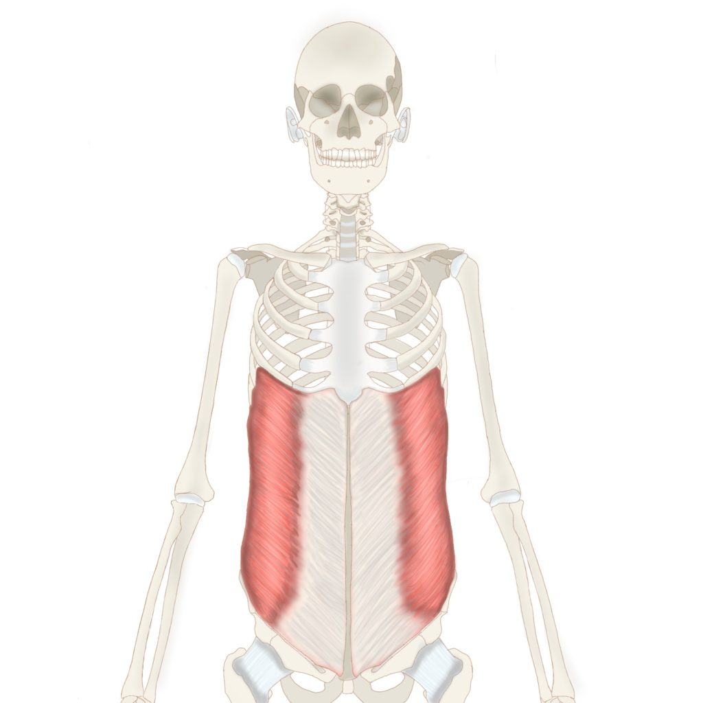 腹斜筋と腹横筋